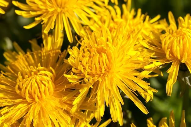Inflorescence lumineuse de pissenlits jaunes frais dans le domaine des pissenlits de la saison du printemps
