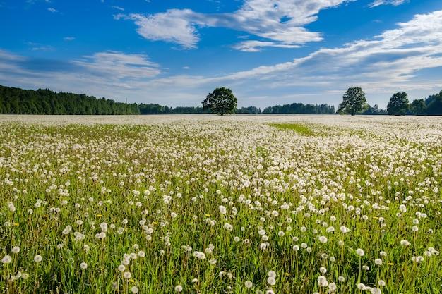 D'innombrables pissenlits blancs moelleux sur le terrain par une journée d'été ensoleillée