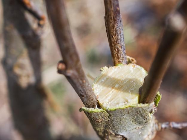 Inoculation au printemps de pommiers à raspis.
