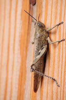 Insecte acridien en surface