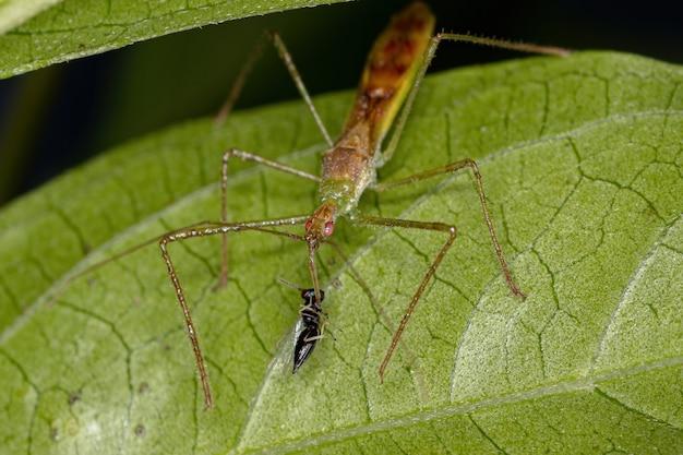 Insecte assassin adulte de la tribu harpactorini s'attaquant à une guêpe chalcidoïde de la superfamille chalcidoidea