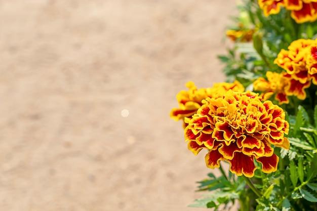 Insecte sur les fleurs de souci jaunes ou tagetes erecta.