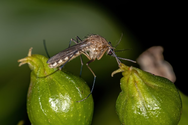 Insecte moustique culicine adulte de la sous-famille des culicinae