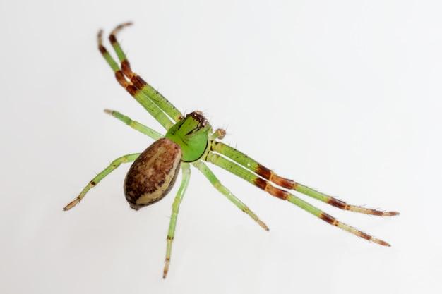 Insecte vert et brun aux longues pattes