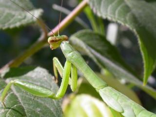 Insecte vert, yeux