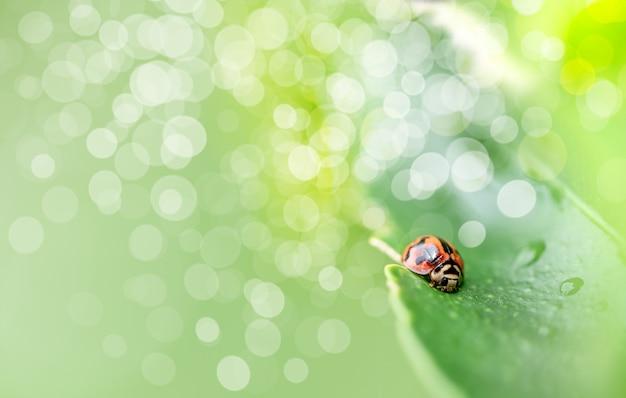 Les insectes coccinelles se cachent sur les feuilles vertes avec des gouttes d'eau