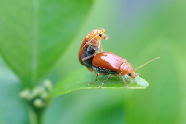 Les insectes coccinelles se reproduisent