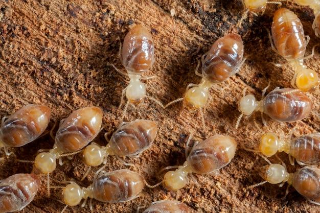 Insectes termites en colonie sur bois