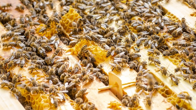 Inspection de la colonie d'abeilles dans un rucher au printemps