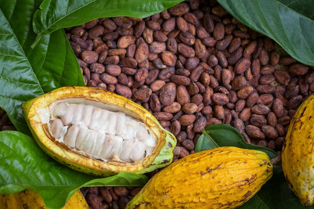 Installation de fèves et de gousses de cacao mûres sur fond en bois rustique