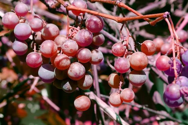 Instantané en gros plan d'un brunch de raisins rouges et violets frais dans le jardin