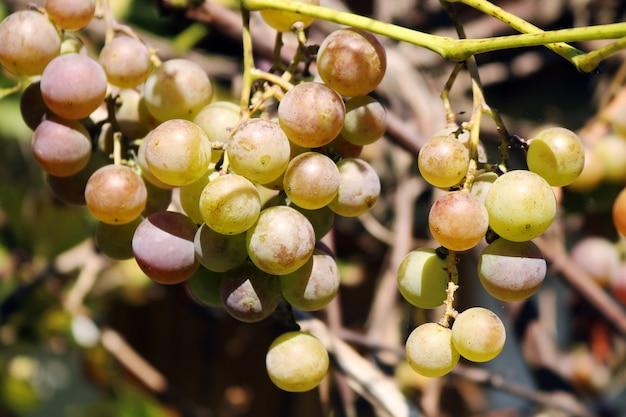 Instantané en gros plan d'un brunch de raisins verts frais dans le jardin