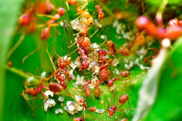 À l'intérieur du nid de fourmis rouges se trouvent des fourmis rouges et des œufs de fourmis rouges.