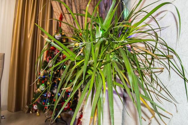 Intérieur festif de la pièce avec une fleur de dracaena et un arbre de noël en arrière-plan.