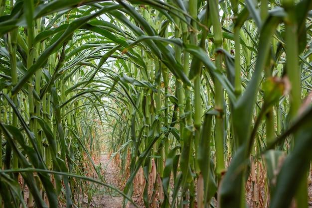 À l'intérieur des rangées de champ de maïs