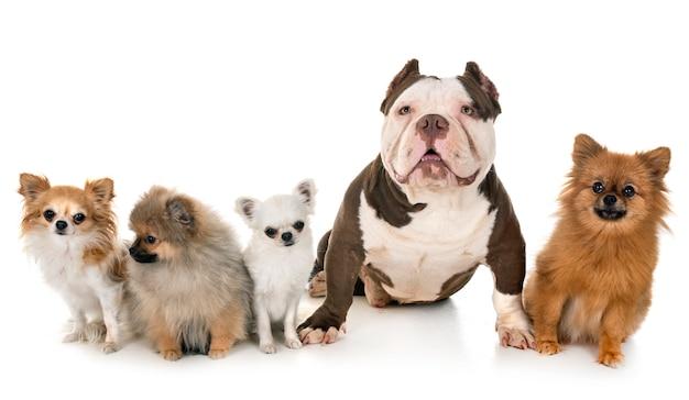 Intimidateur américain et petits chiens