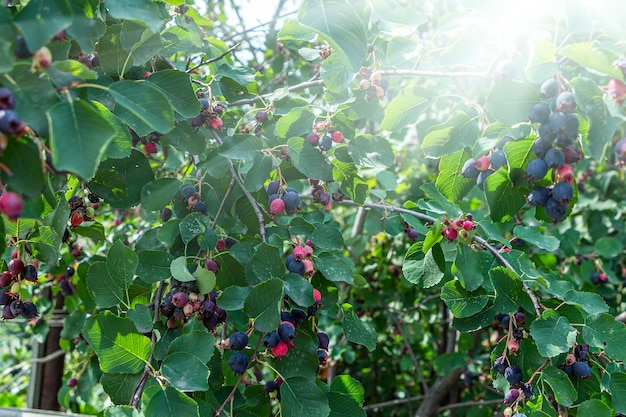 Irga (amelanchier) est un genre de plantes de la tribu apple