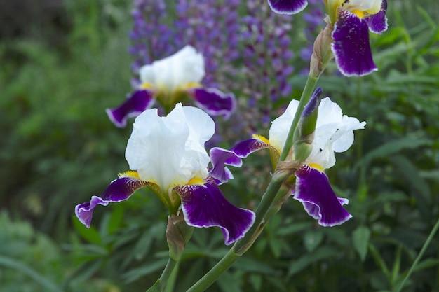 L'iris aux pétales blancs et violets pousse sur fond d'herbe verte dans le jardin.