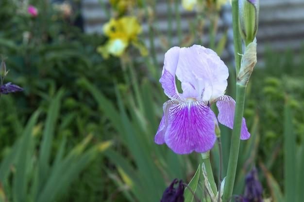 Iris bleu délicat sur fond d'herbe verte en été.