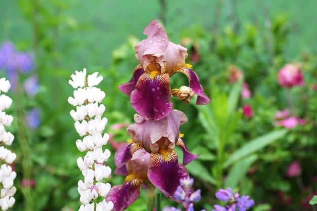 Iris fleur jardin été printemps