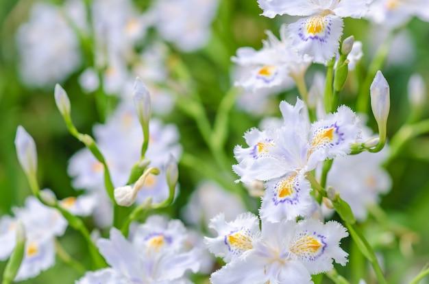 Iris japonica en flou, belle iris japonica au japon.