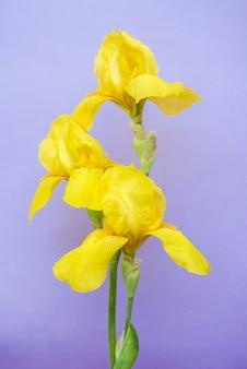 Iris jaune doux sur fond bleu isolé. carte de voeux avec fleur d'iris