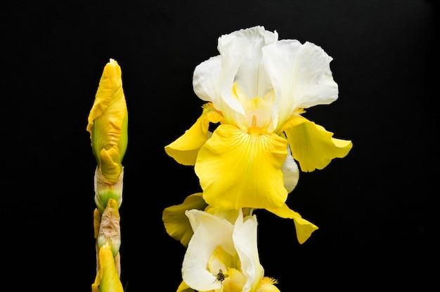 Iris jaunes sur fond noir