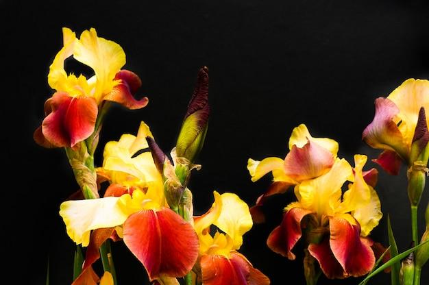 Iris jaunes et rouges sur fond noir