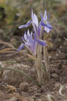 Iris de noix de barbarie, moraea sisyrinchium