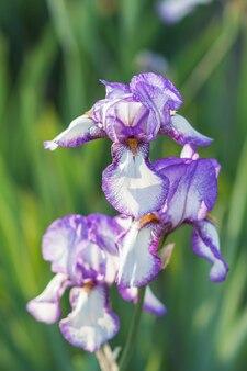 Iris pourpres colorés