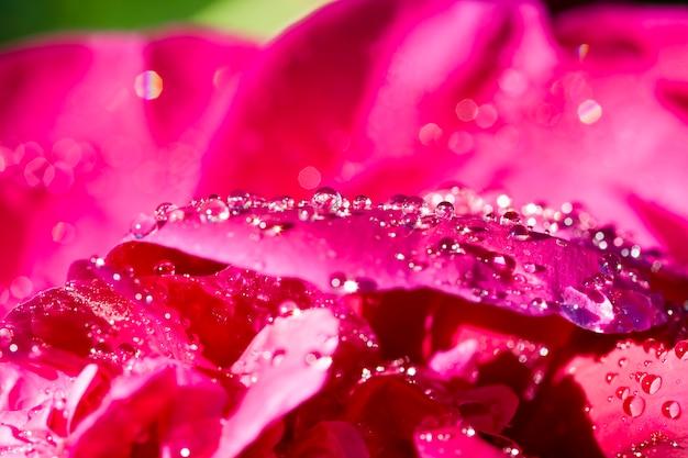 Les iris printaniers sombres et brillants couverts de gouttes d'eau et de rosée après la pluie, les grandes fleurs ne sont pas au point