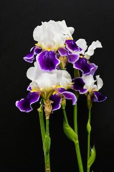 Iris violets sur fond noir