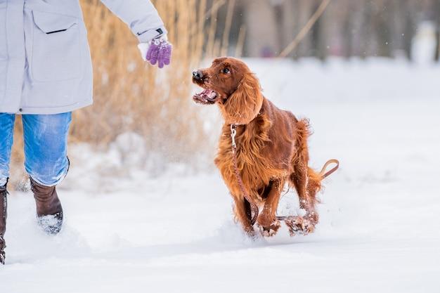 Irish red setter chien jouant en laisse sur une promenade hivernale