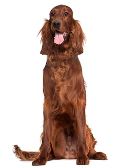 Irish setter, 1 an, assis