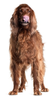 Irish setter, 5 ans, se léchant le nez