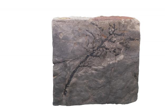 Isolat d'ammonite fossile avec un tracé de détourage