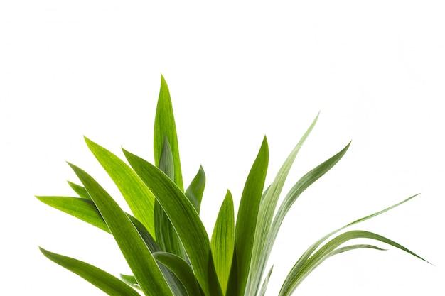 Isolat d'herbe verte fraîche