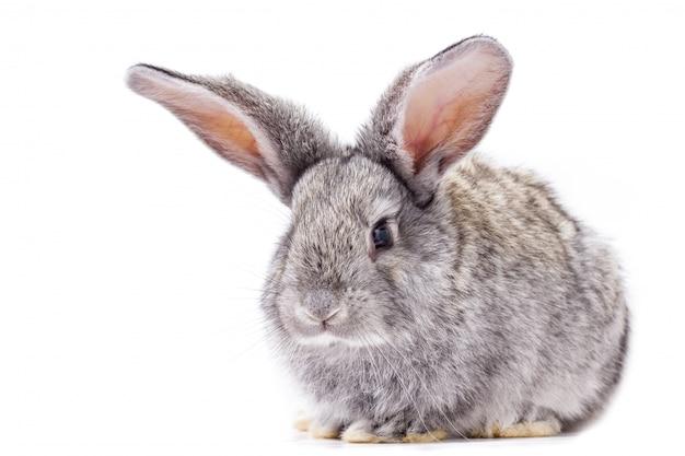 Isolat de lapin gris, beau lapin décoratif jouant au lapin