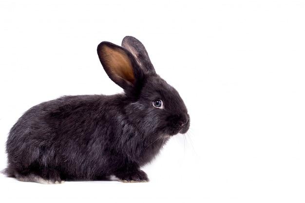 Isolat de lapin noir moelleux