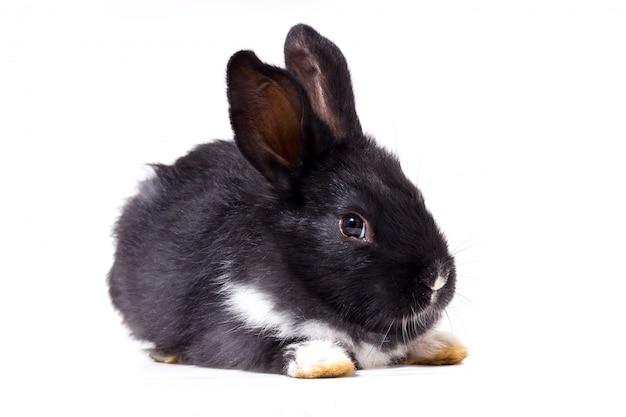 Isolat de petit lapin noir, animal de ferme