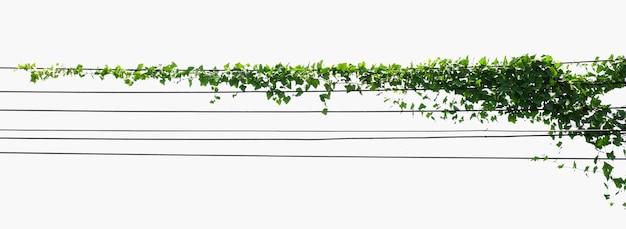Isolat de plante de lierre sur fond blanc