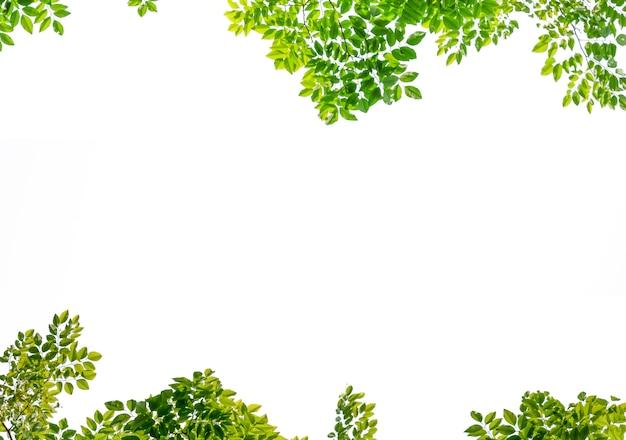 Isolé de la belle branche d'arbre avec une feuille colorée sur fond blanc. tracé de détourage et espace de copie - image.