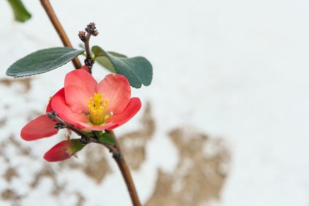 Isolé belle fleur rose d'un coing japonais qui fleurit au printemps avec du blanc