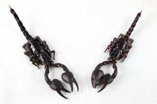 Isolement noir paire scorpion