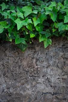 Ivy sur la surface rocheuse