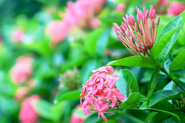 Ixora ou jasmin des indes occidentales, belle fleur rose qui fleurit dans le jardin