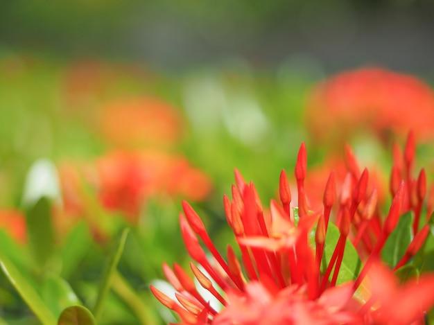 Ixora rouge ou fleur épi avec arrière-plan flou
