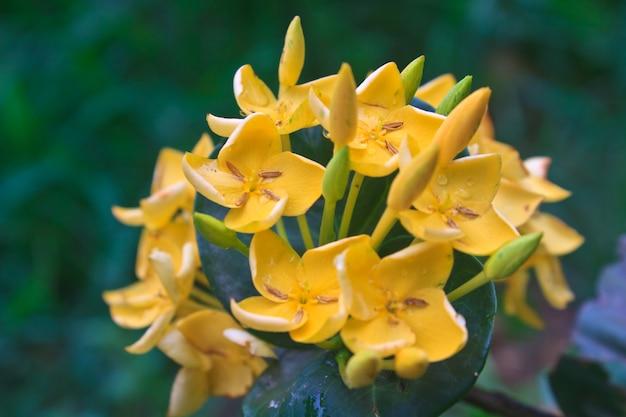 Ixoras jaune, fleur de jasmin des indes occidentales