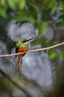 Jacamar à queue rousse sur un arbre dans l'habitat naturel