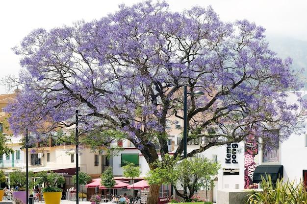 Jacaranda bleu jacaranda mimosifolia floraison à benalmadena espagne
